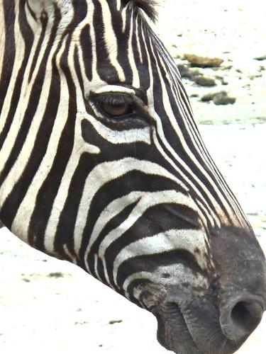 IMG_1511 zebra