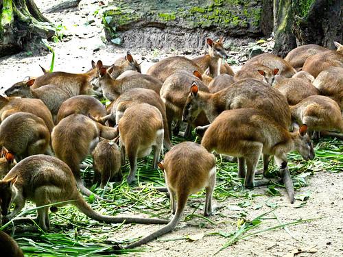IMG_1532 Kangarooos, Taiping Zoo