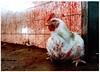 תרנגול במשחטה