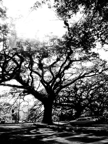 IMG_1484 Taiping Rain trees