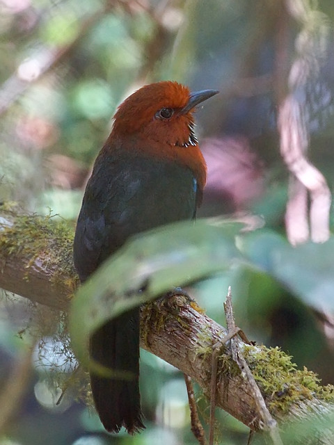 Rufous-headed Ground-Roller (Atelornis crossleyi)