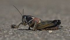beetle(0.0), weevil(0.0), arthropod(1.0), locust(1.0), animal(1.0), cricket(1.0), invertebrate(1.0), insect(1.0), macro photography(1.0), grasshopper(1.0), fauna(1.0), close-up(1.0),