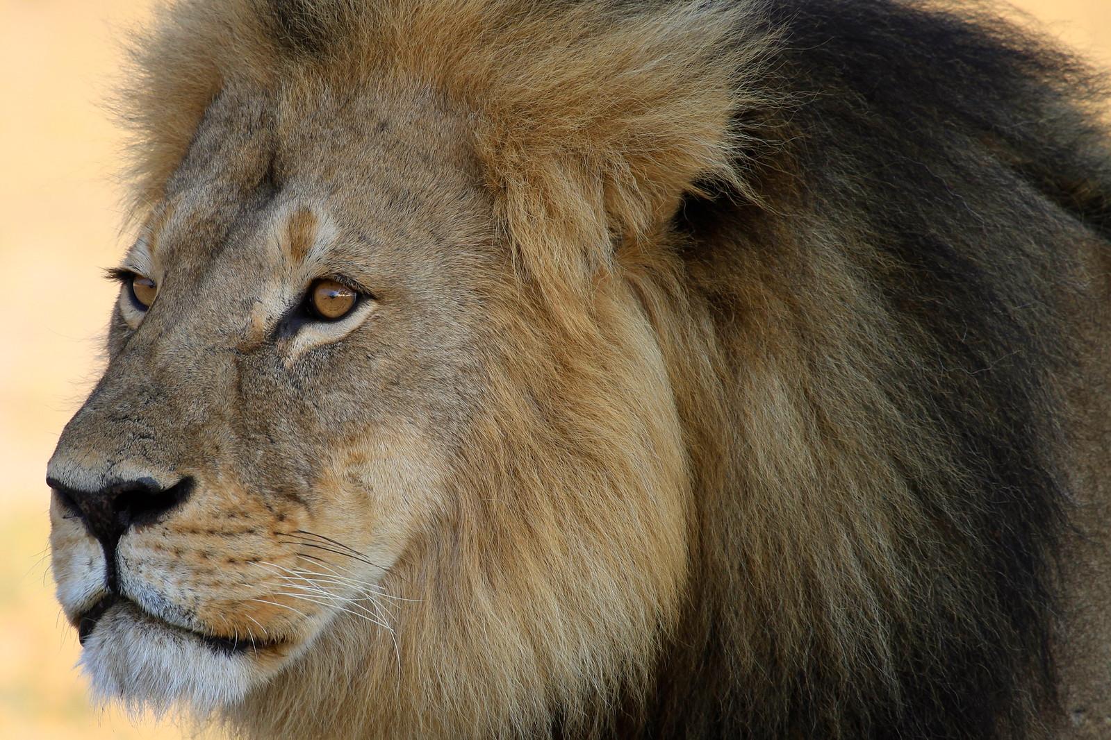 Cecil - The large black maned lion of Hwange