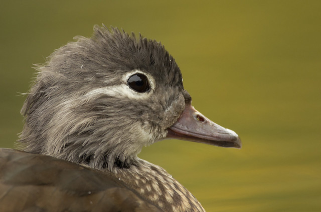 mandarin duck female close up 3