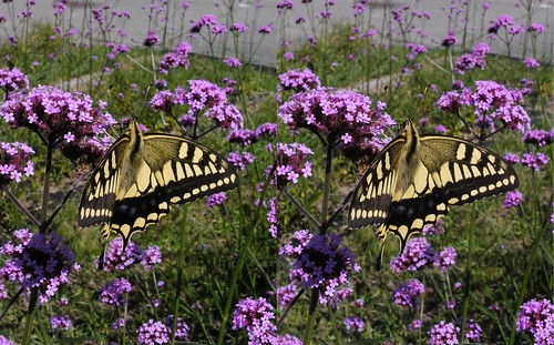Papilio machaon, stereo parallel view