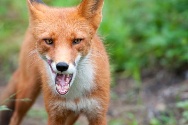 Wild fox by Anikina Tatiana, Ekaterinburg, Russia