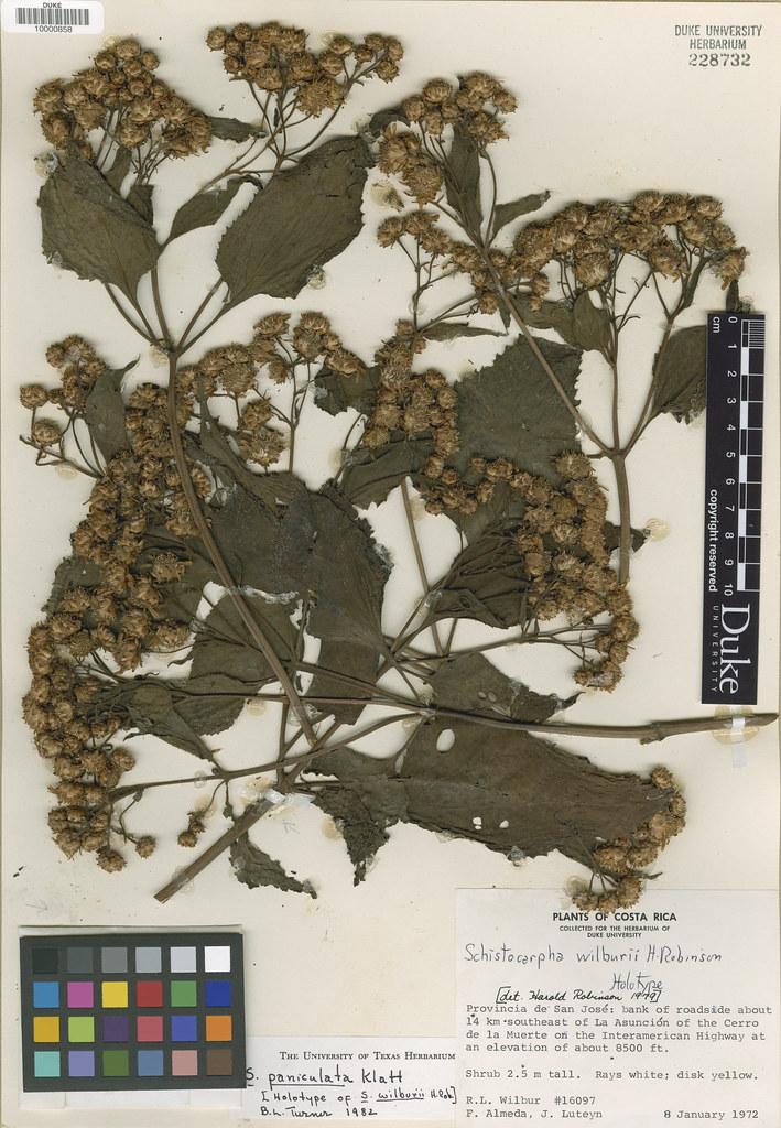 Asteraceae_Schistocarpha wilburii