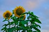 Sunflowers in the back yard