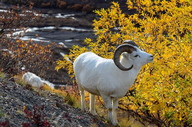 Carnero de Dall en el Parque Nacional Denali. Alaska
