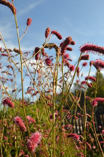 SANGUISORBA 'Pink September'