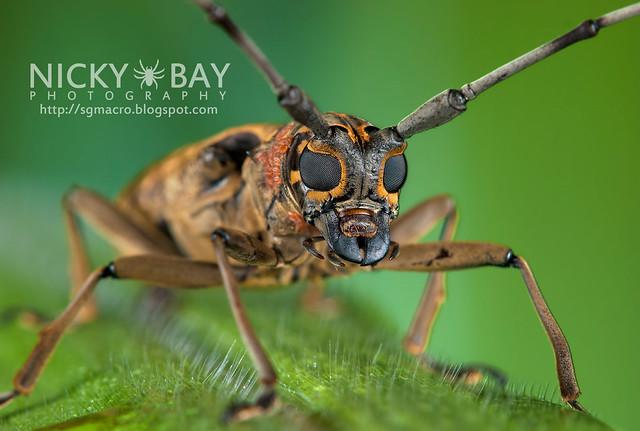 Longhorn Beetle (Cerambycidae) - DSC_6244