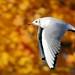 J77A0264 -- Black-headed Gull in flight an Autumn day by Nils Axel Braathen