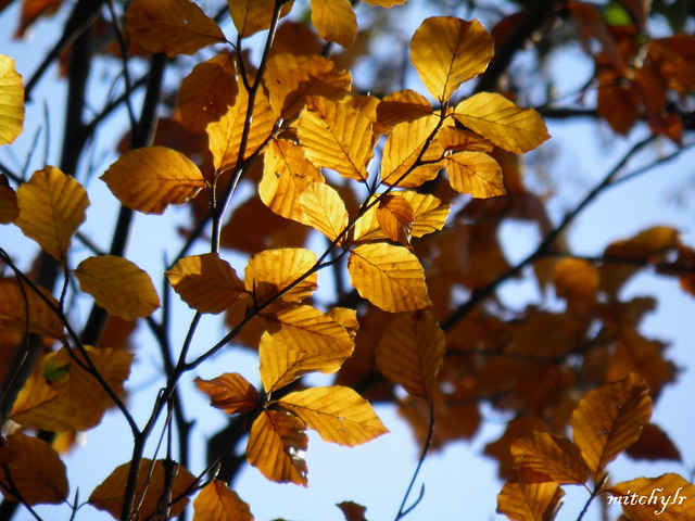 Golden Leaves 1