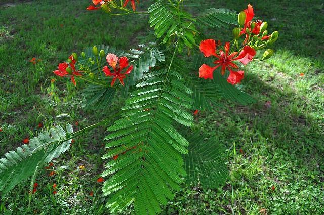 Flores de flamboyant VI