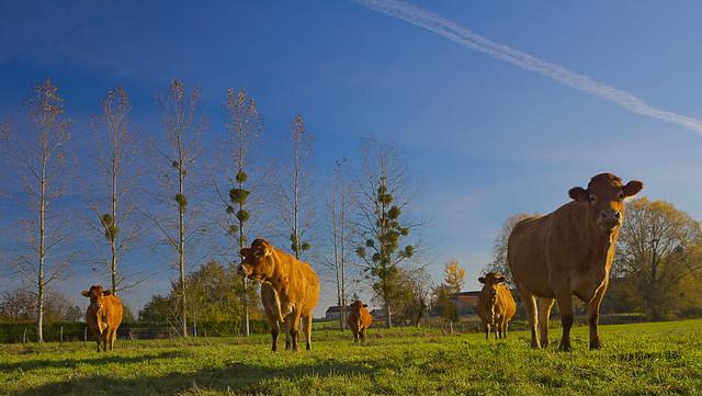 Les cinq vaches
