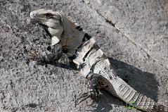 Iguana at Chichen Itza - Yucatan, Mexico