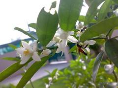 Lemon blossoms and the worker bees!  :)