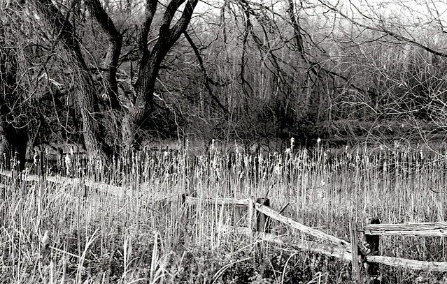 Fence through the Bull Rushes.