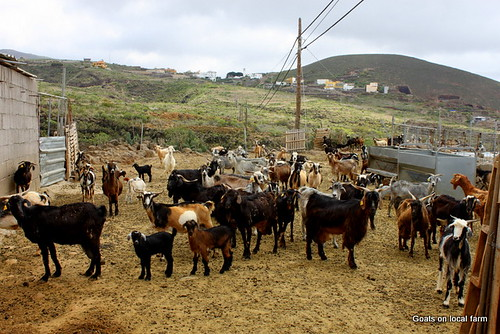 Goats on Tenerife