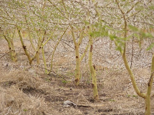 2 year old acacia charcoal plantation
