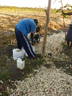collecting waste maize cobs from a farmers field