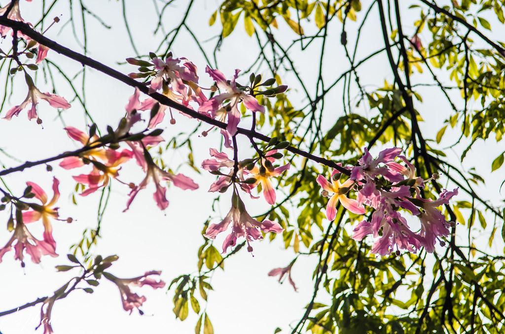 台灣美人樹 Chorisia speciosa