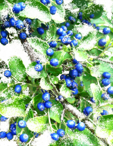 Dusting of Snow on Sapphire Berries by randubnick