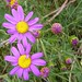 Red-purple Ragwort - Photo (c) Jon Sullivan, some rights reserved (CC BY-NC)