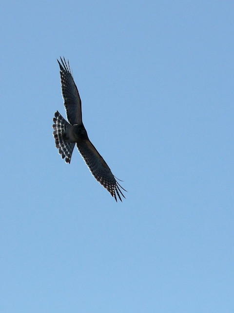 Short-tailed Hawk dark morph 20121202