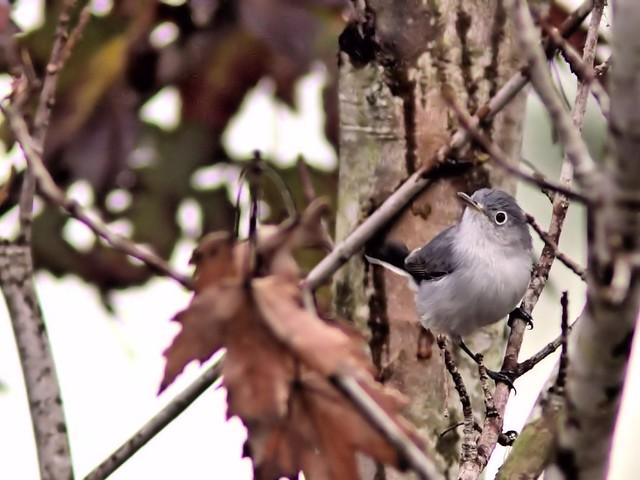 Blue-gray Gnatcatcher 20121203