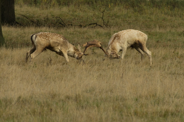 fallow deer bucks rutting