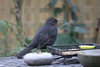 Young Mr Blackbird