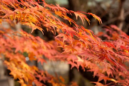 北野天神  紅葉