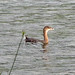 Pied-billed Grebe_6034