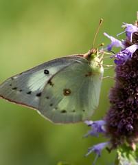 Sulphur Butterfly nectaring on Agastache foeniculum