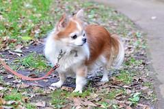 dog breed, animal, puppy, dog, pet, mammal, papillon,