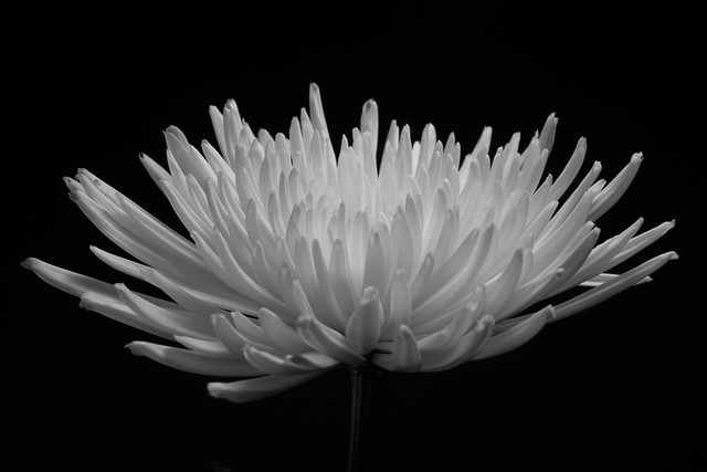 Spider Mum. Photograph by Jennifer Dikes, 2012. BBG Class: Digital Photography in the Garden.