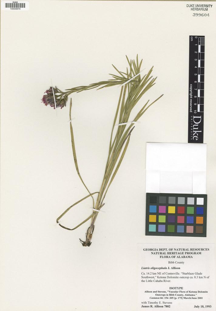 Asteraceae_Liatris provincialis