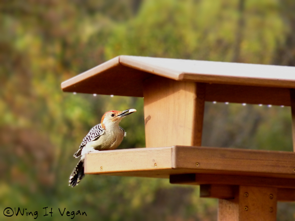 Woody the red-bellied woodpecker