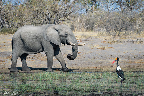 Elephant and a Saddle Billed Stork