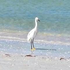 We've been seeing this #Egret at the #beach all week.   #snowyegret #shorebird #ilovestpetebeach