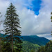 Pine tree meets mountain, Smoky Mountains. August 2016