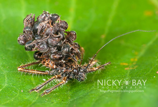 Ant-Snatching Assassin Bug (Acanthaspis sp.) - DSC_7346