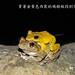 柯丁誌_穿著金黃色西裝的褐樹蛙找到伴侶囉!