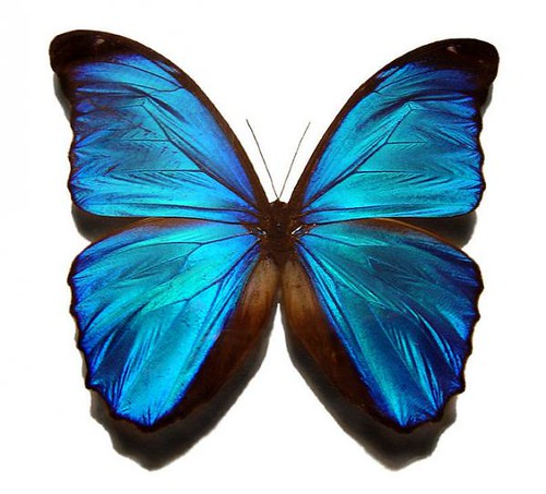 Blue-morpho.img_assist_custom-600x543
