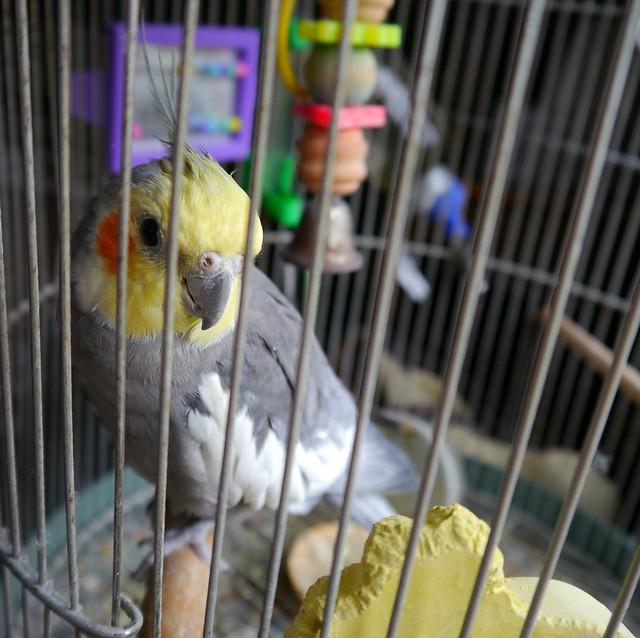 Kooky (aka Kookaburra)