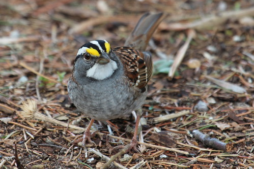 White throated sparrow. by ricmcarthur