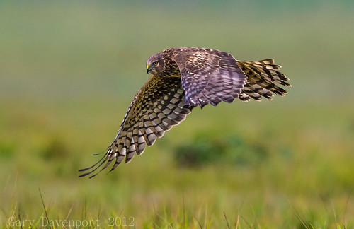 nature wildlife circuscyaneus ridgefieldnwr