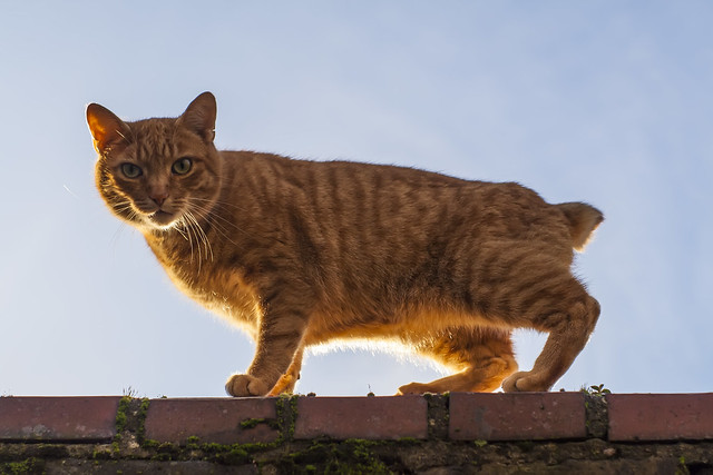 Ginger Manx Cat on Wall