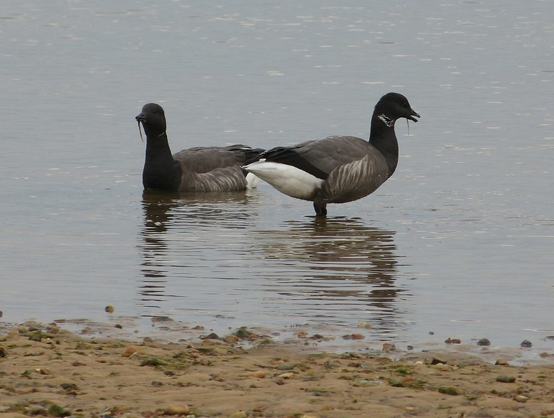 28986 - Brent Geese, Wells-next-the-Sea